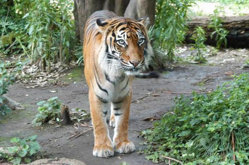 猛獣タイガー