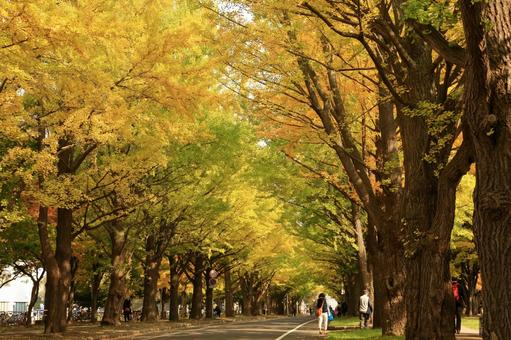 Ginko bunches, autumn leaves