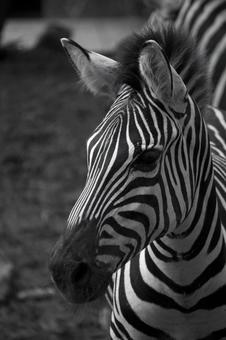 Animals · Zebras 2
