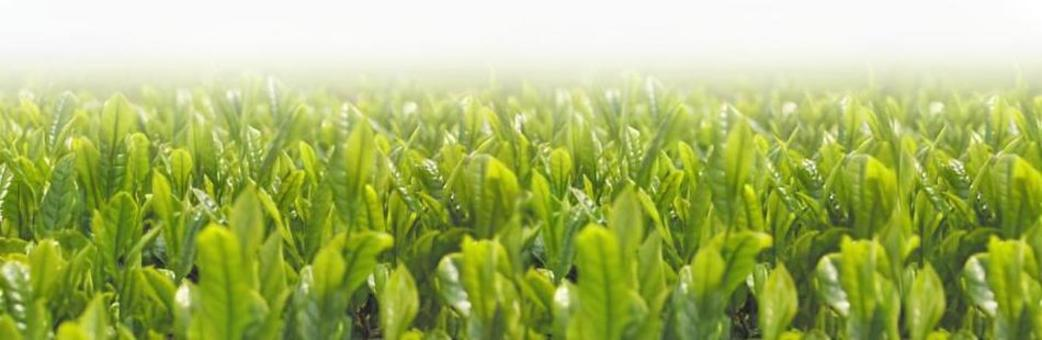 Tea sprout (for web banner)