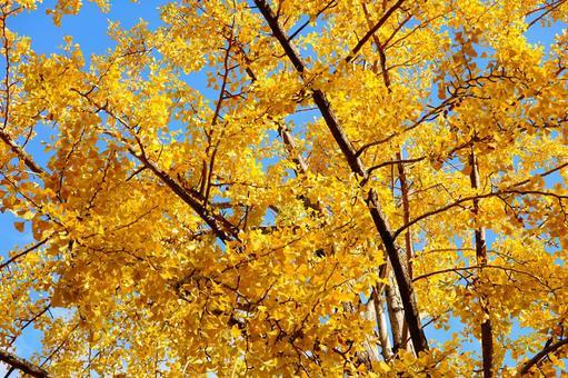 은행 나무와 가을 하늘 햇살