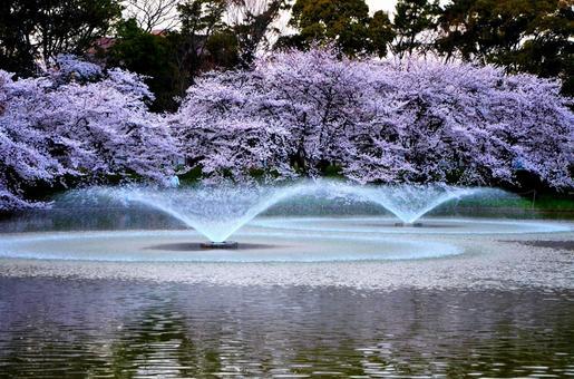연못과 분수와 벚꽃
