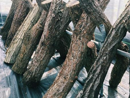 표고 버섯 나무