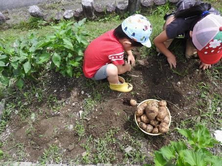 Digging potato 02