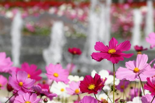Pink Cosmos 4
