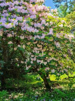 Large tree of Western rhododendron