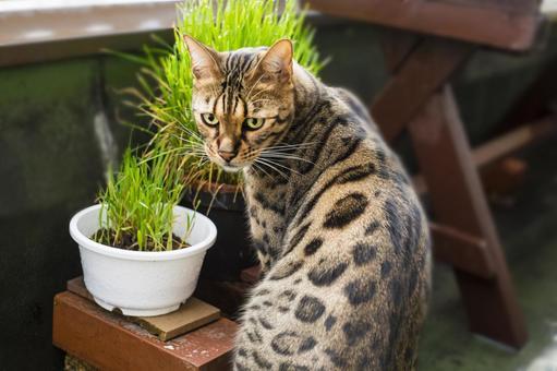 Bengal cat eating cat grass on the veranda turns around