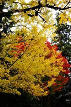 가을의 나라 단풍 은행 나무와 단풍 배경 화면