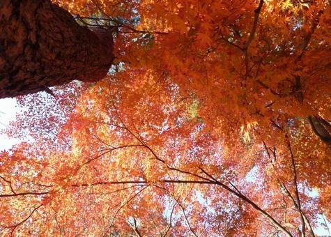 Bamboo like autumn leaves, Maple!