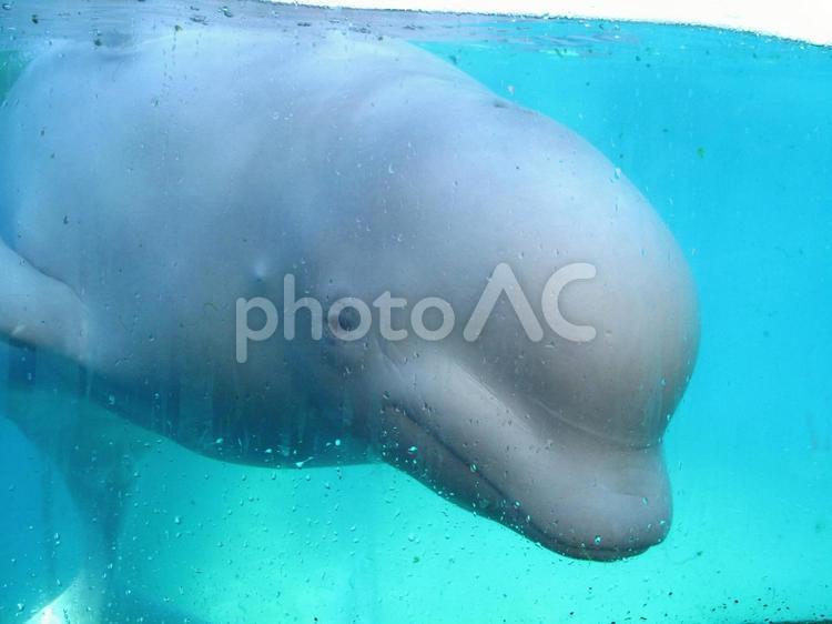 白イルカの写真