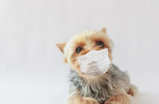 Yorkshire terrier in a mask