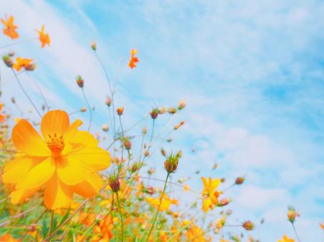 Cosmos flower field and light blue sky