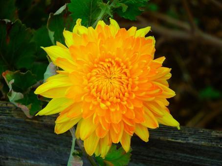 가을의 노란 국화 .2