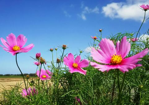 Bright cosmos and blue sky 1