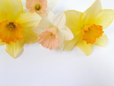 수선화 봄