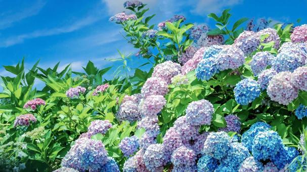 Hydrangea and blue sky