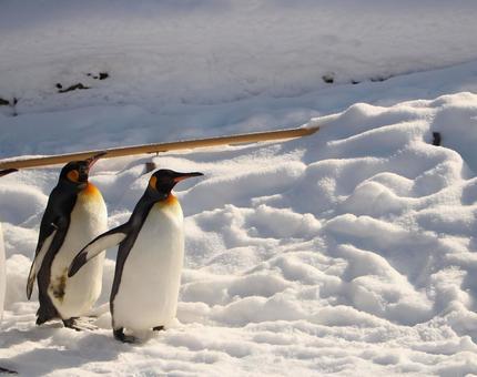 Penguins walking in the winter zoo