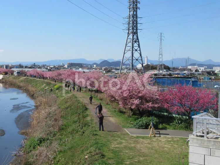 桜 河津桜の写真