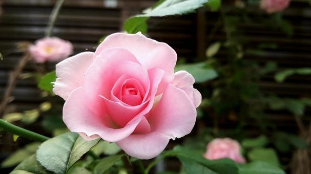 장미 꽃 005