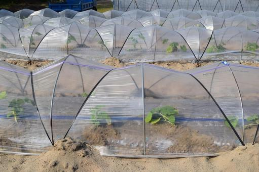 Tunnel cultivation Greenhouse cultivation