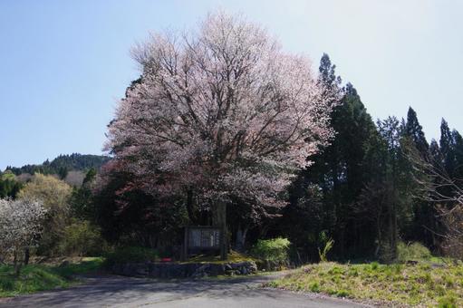 쿠로 이와의 산 벚나무