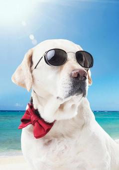 Sunglasses Labrador Retriever 2