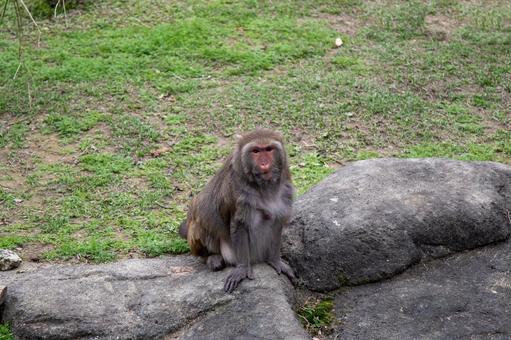 台北動物園-タイワンザル (台湾獼猴)