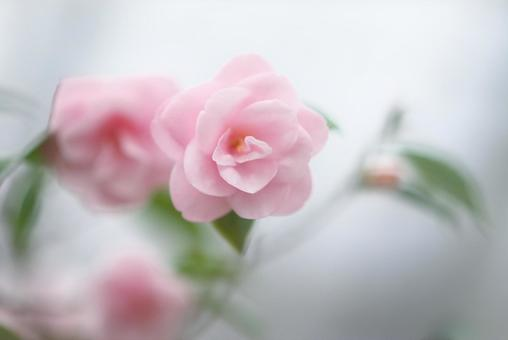 Fresh pink camellia