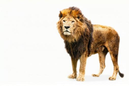 Male lion (white background)