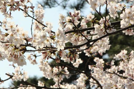 在兼六园的樱花