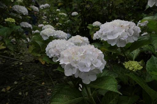 白繡球菌群