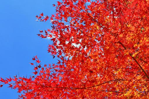 Maple autumn leaves sky blue sky bright red autumn leaves red autumn leaves