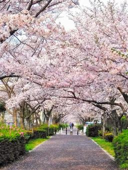 Spring pink full bloom cherry blossom tunnel vertical