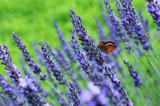 Butterfly sucking lavender nectar