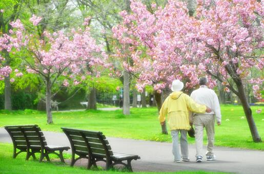 Walking with cherry blossoms and good couple