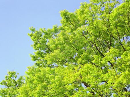 Fresh green leaves zelkova zelkova