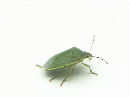 Glossy turtle beetle