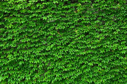 Wall covered with ivy ivy wall greening