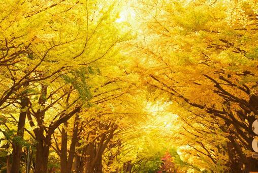Hokkaido University and ginkgo trees in late autumn