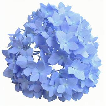 Cut out material Hydrangea blue