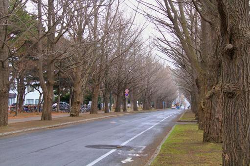 Spring northern university gingko line trees