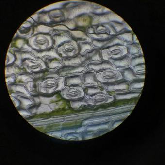 Observed with a microscope