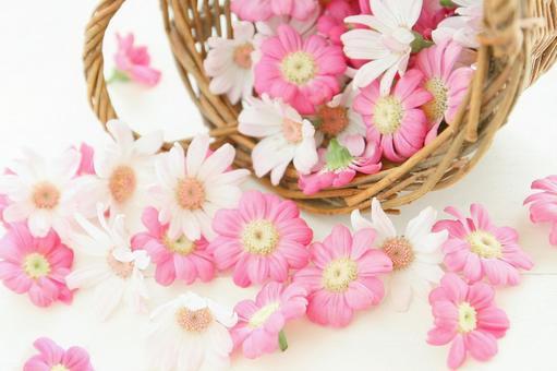 Cineraria flower basket