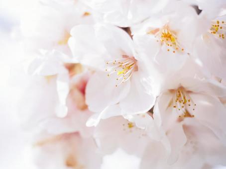 부드러운 분홍색 벚꽃 만개