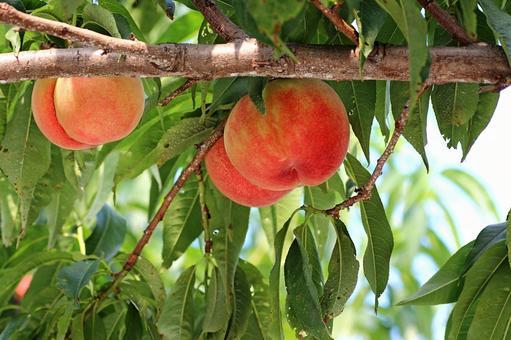 Fukushima peach 2021_07
