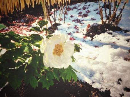 Snow peony