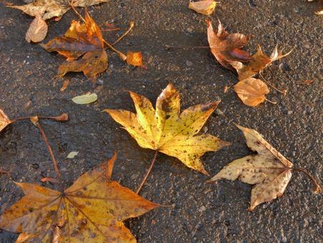 Fallen leaves of maple