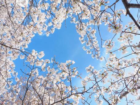 벚꽃의 프레임 푸른 하늘 백