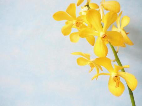 Yellow mokara (Orchidaceae)