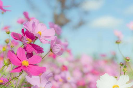 Pink cosmos and autumn blue sky